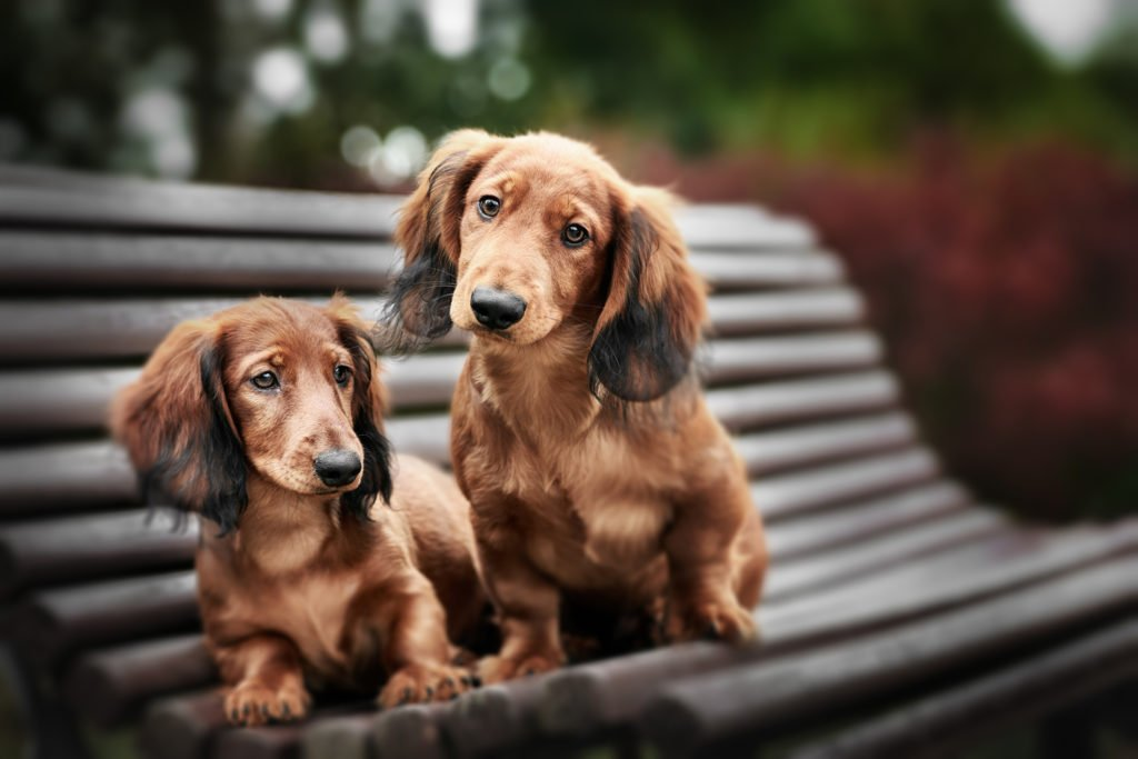 Should I Get Two Dachshunds? Two friendly long-haired dachshunds sat on a bench together