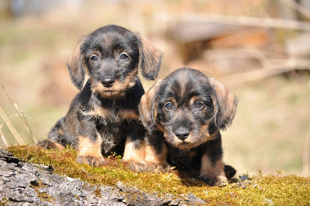 Should I Get Two Dachshunds? Two wire-haired dachshund puppies being socialised on a walk