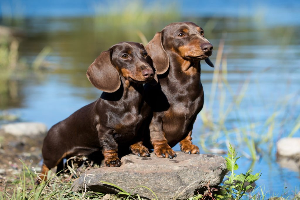 Should I Get Two Dachshunds? Two smooth-haired dachshunds out on a walk together beside a reservoir