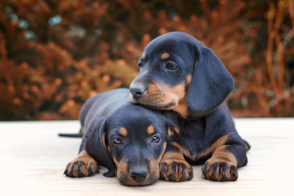 Should I get two dachshunds? Two cute dachshund puppies laying on top of each other