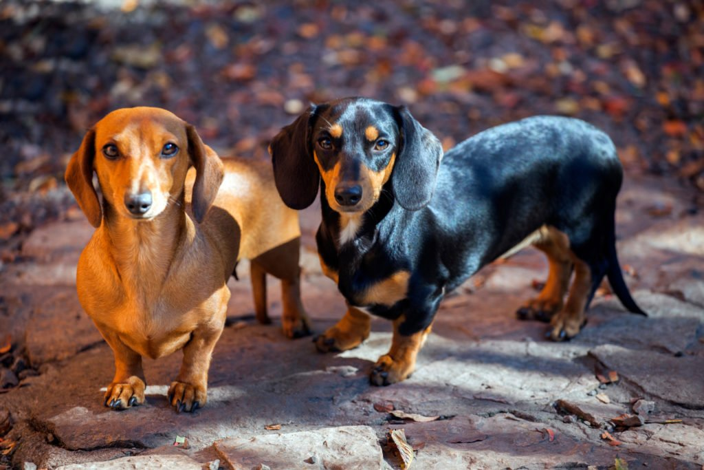Why were miniature dachshunds bred? Two miniature dachshunds out for a walk in the woods