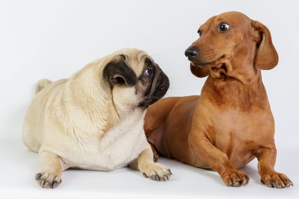 How To Care For a Dachshund. Dachshund and a pug dog with surprised faces looking directly at each other