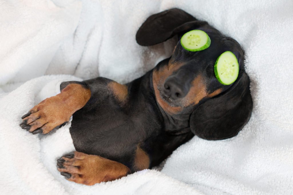 Dachshund laying on his back being groomed with cucumber on his eyes