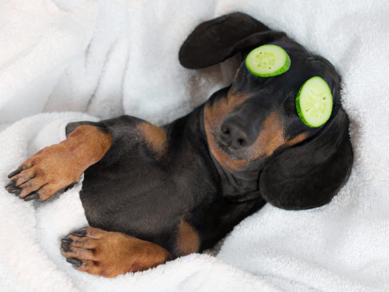 dachshund being groomed with cucumbers on eyes