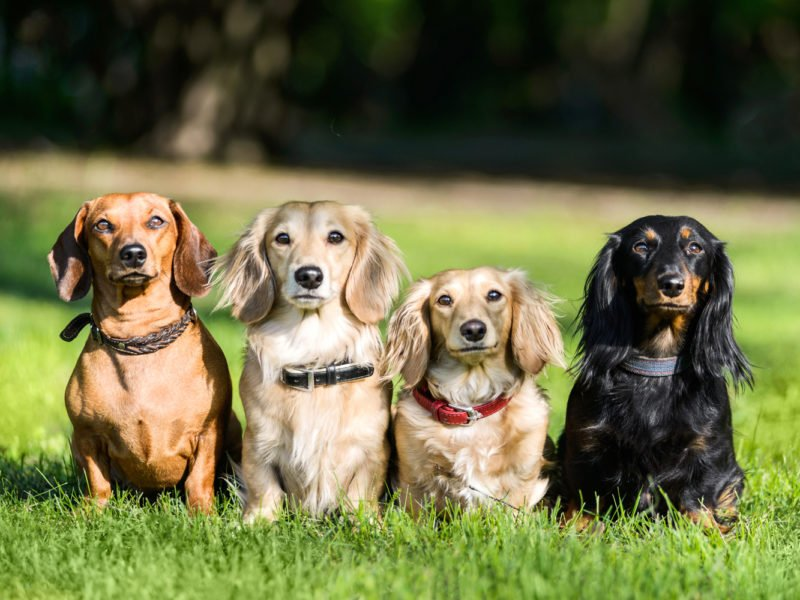 Four dachshunds with different coat colours all sat in a line in the garden