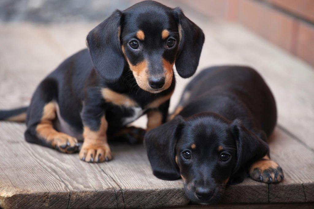 Why Do People Love Dachshunds? Two dachshund puppies sitting together