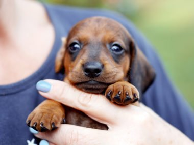 Dachshund puppy newborn being held in woman's hand