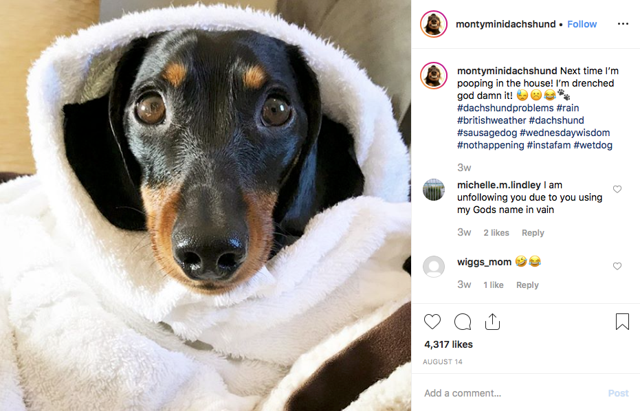 Instagram screenshot of @montyminidachshund
