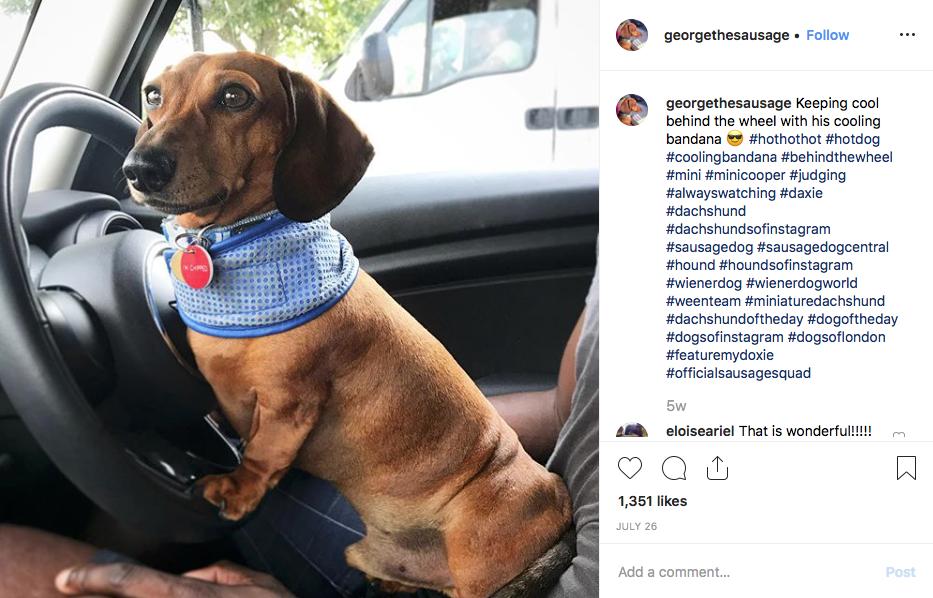 Instagram screenshot of dachshund @georgethesausage