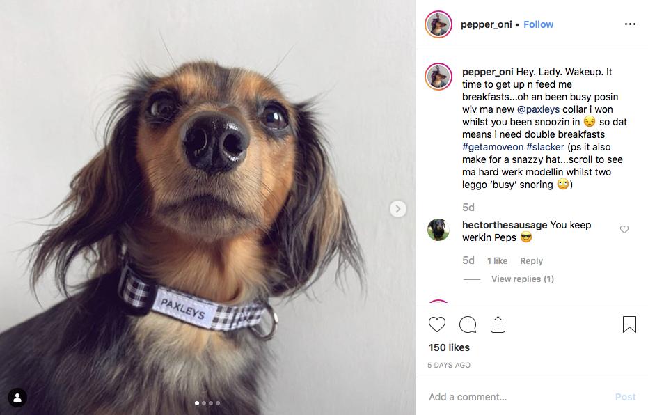 Instagram screenshot or dachshund @pepper_oni