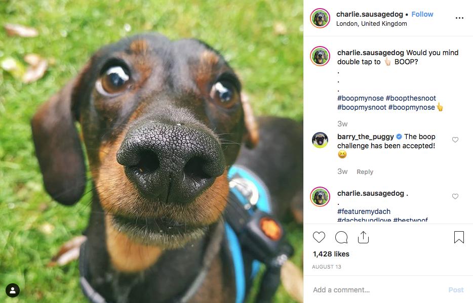 Instagram screenshot of dachshund @charlie.sausagedog