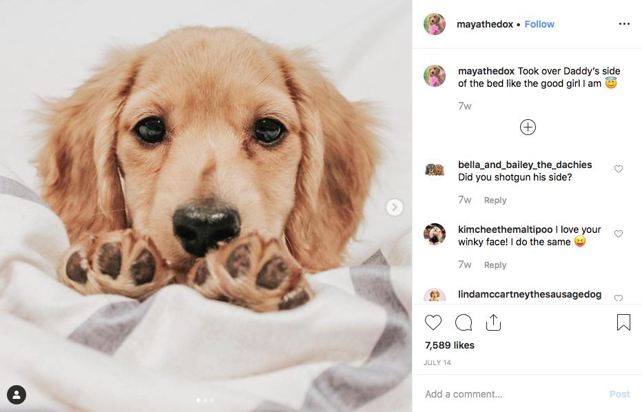 Instagram screenshot of dachshund @mayathedox