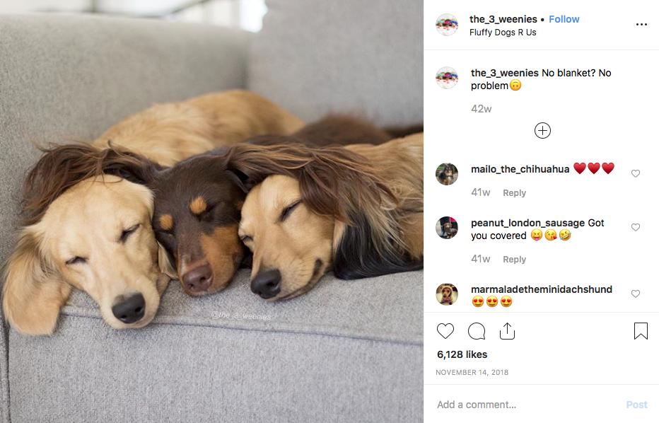 Instagram screenshot of dachshund @the_3_weenies