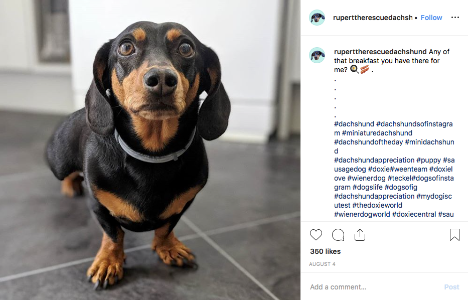 Instagram screenshot of dachshund @ruperttherescuedachshund