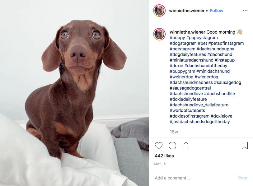 Instagram screenshot of dachshund @winniethe.wiener