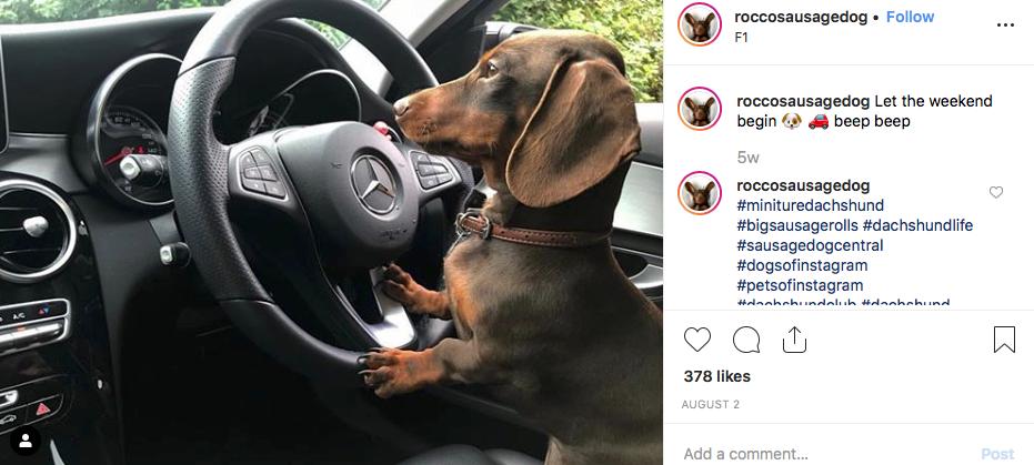 Instagram screenshot of dachshund @roccosausagedog