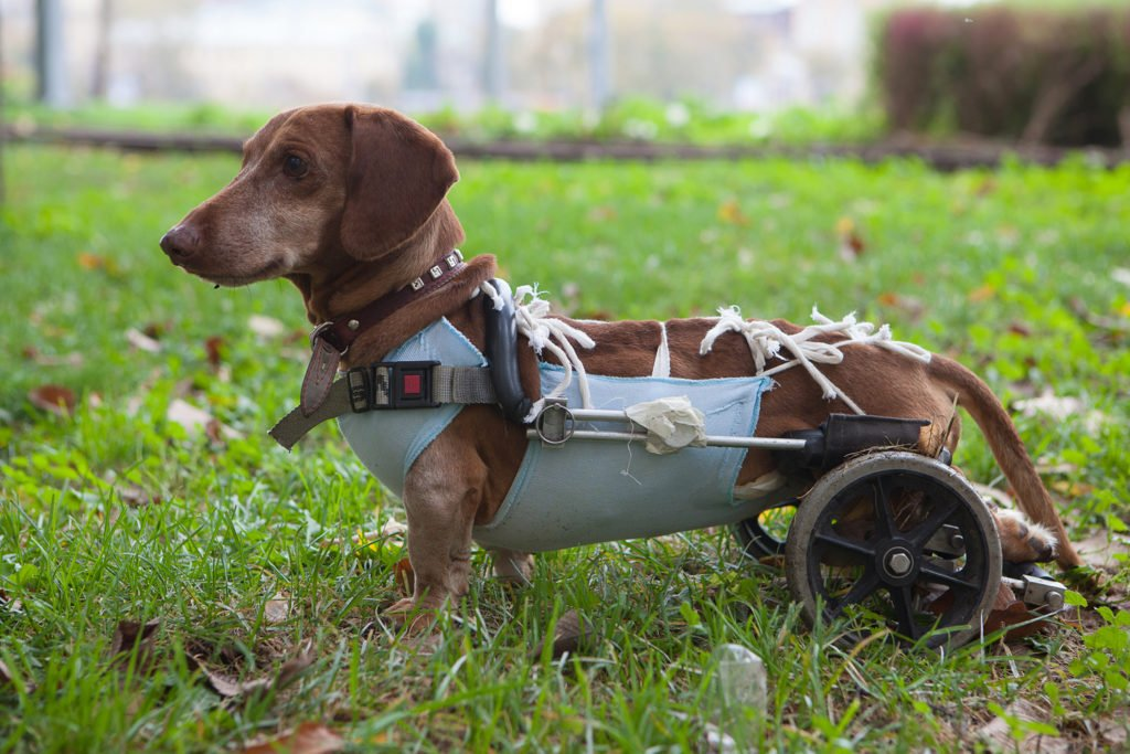 What Health Problems Are Dachshunds Prone To? Dachshund with IVDD in a wheelchair mobility cart walking around the garden