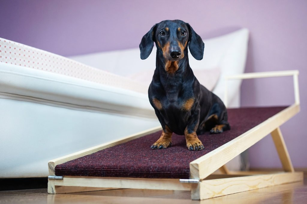 Can Dachshunds Go Up And Down Stairs? Dachshund sat on a ramp beside a bed