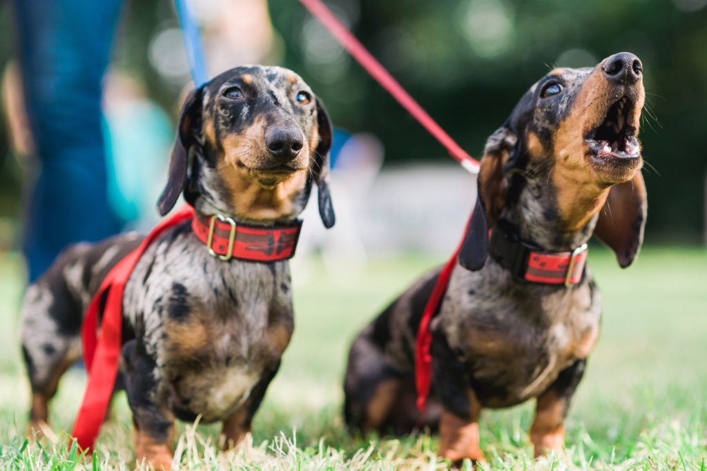 Why Do Dachshunds Bark All The Time? Two dachshunds out on a walk with one dachshund barking
