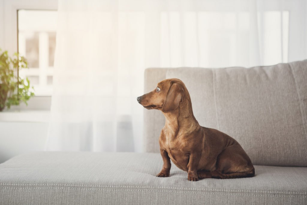 Why Do Dachshunds Bark All The Time? Dachshund sat alone staring out of the window and waiting