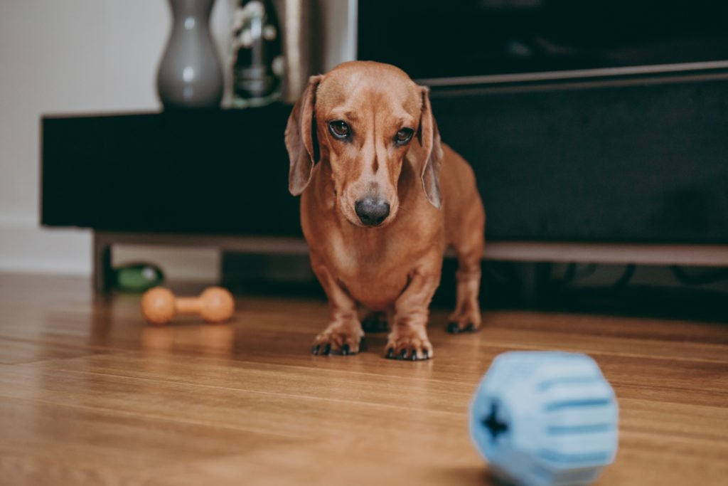 Sad looking dachshund stood on the floor looking at a toy ball