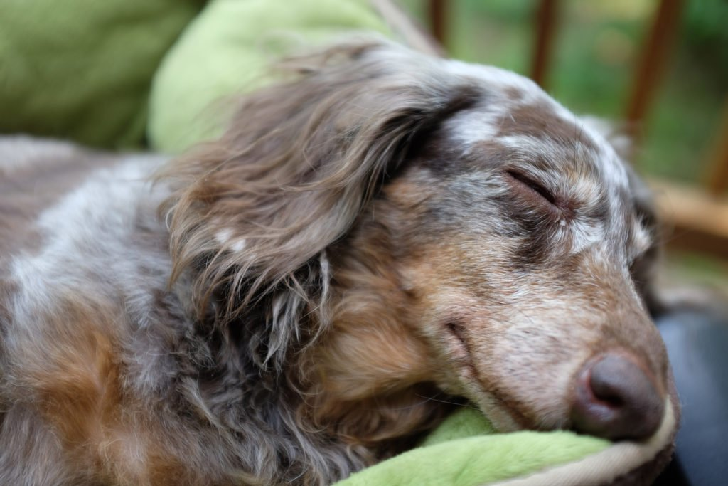Dachshund resting in his bed and sleeping recovering from IVDD