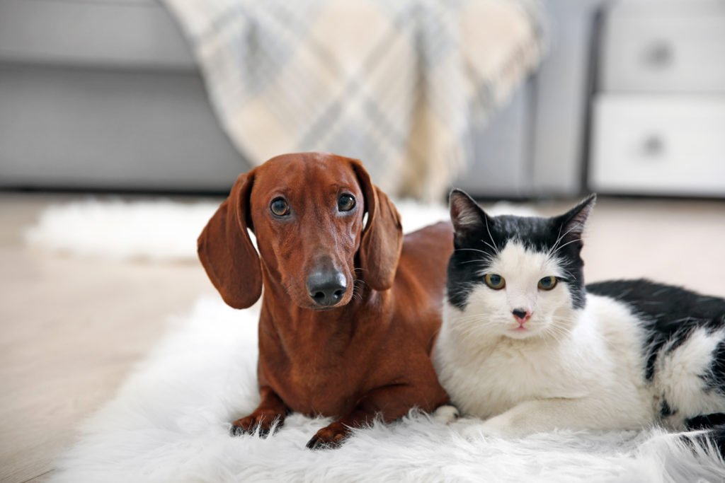 Can Dachshunds Live with Cats? Dachshund laying on the floor with a cat and looking straight ahead
