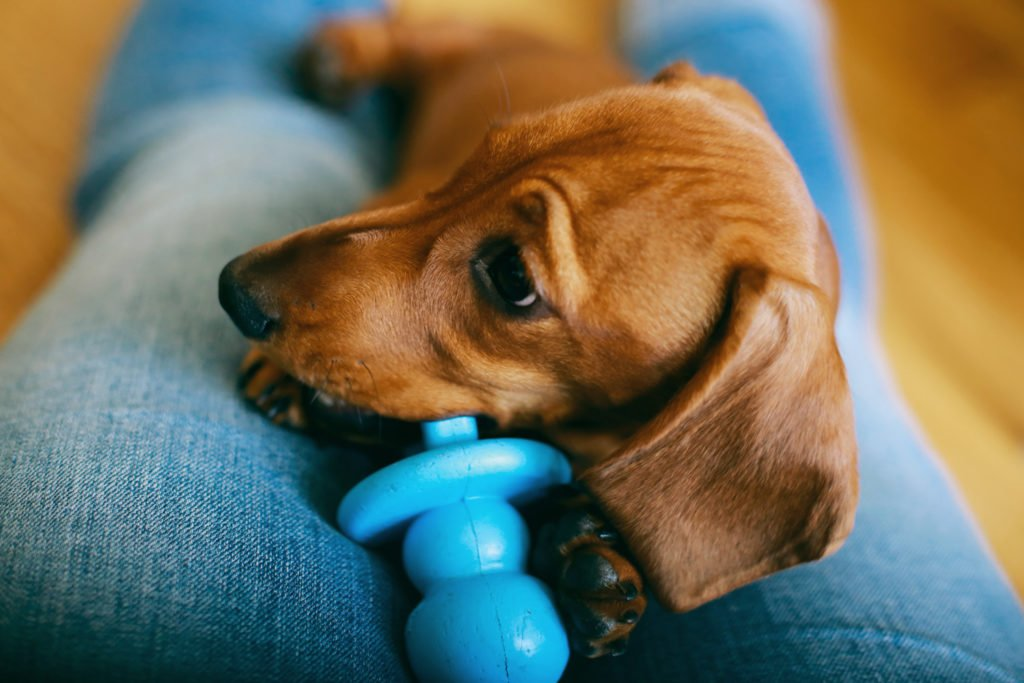 When Do Dachshunds Start Teething? Dachshund laying on a woman's lap chewing a blue toy