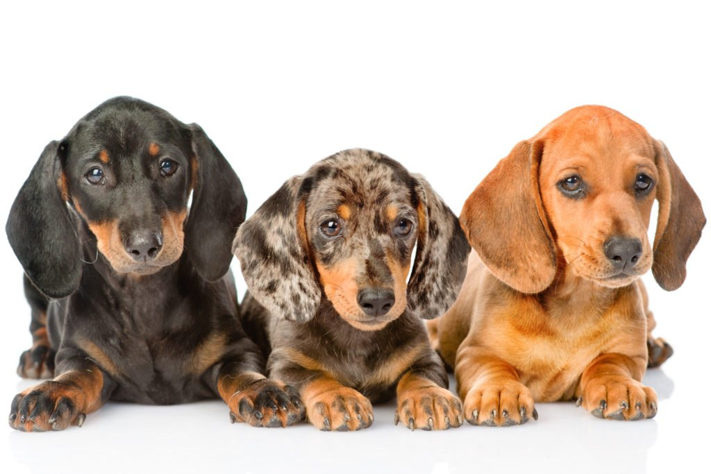 What Colours Can Dachshunds Be? Three dachshunds with different colour coats on a white background