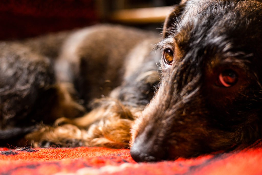 Why Is My Dachshund So Itchy? Sad looking dachshund with fleas laying curled up on the floor
