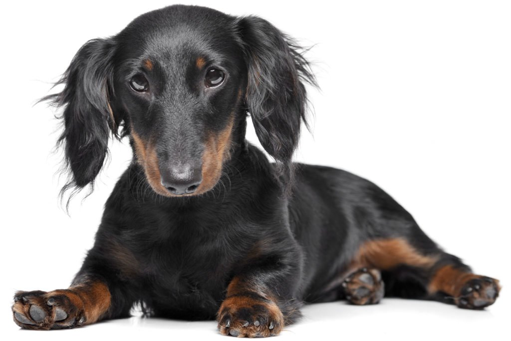 When Are Dachshunds Full Grown? Long-haired dachshund puppy laying down on a white background