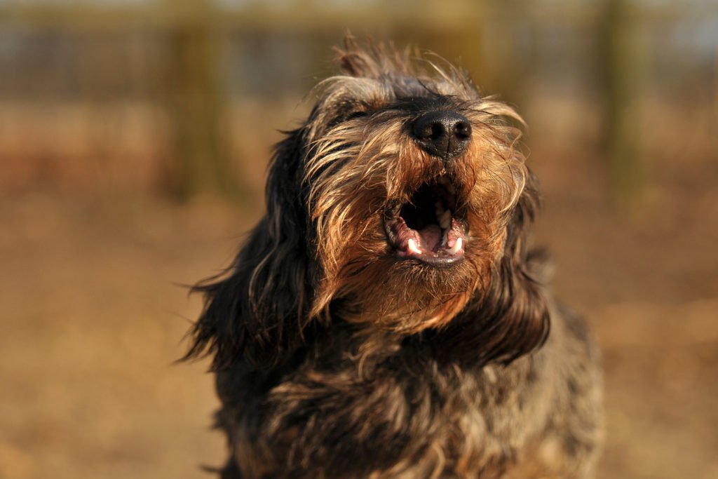 Why Do Dachshunds Bark All The Time? Wire-haired dachshund barking