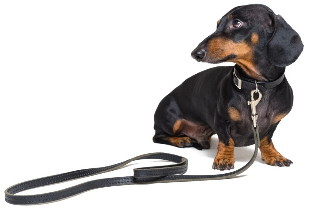 What happens if I don't neuter my dachshund? Dachshund sitting down with a lead on