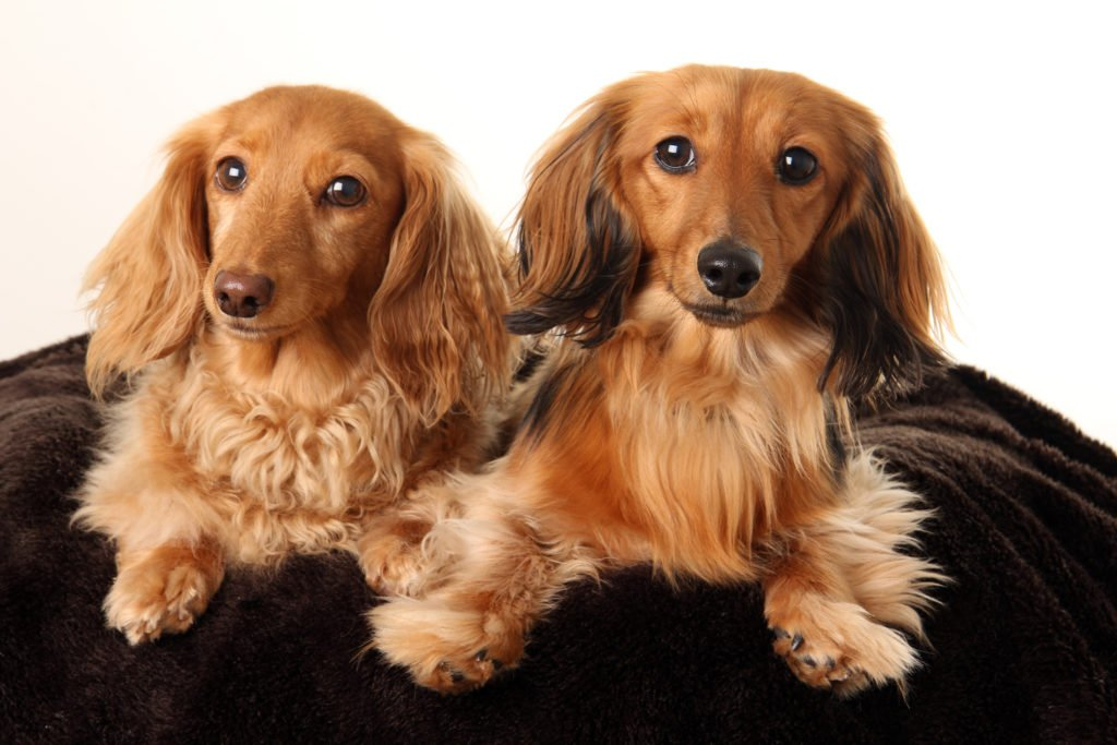 Do Dachshunds Shed? Two long-haired dachshunds laying on a dog bed