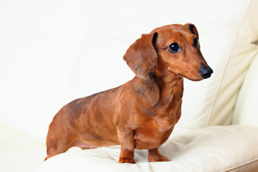 Why Do Dachshunds Bark All The Time? Dachshund sat perched on side of sofa barking
