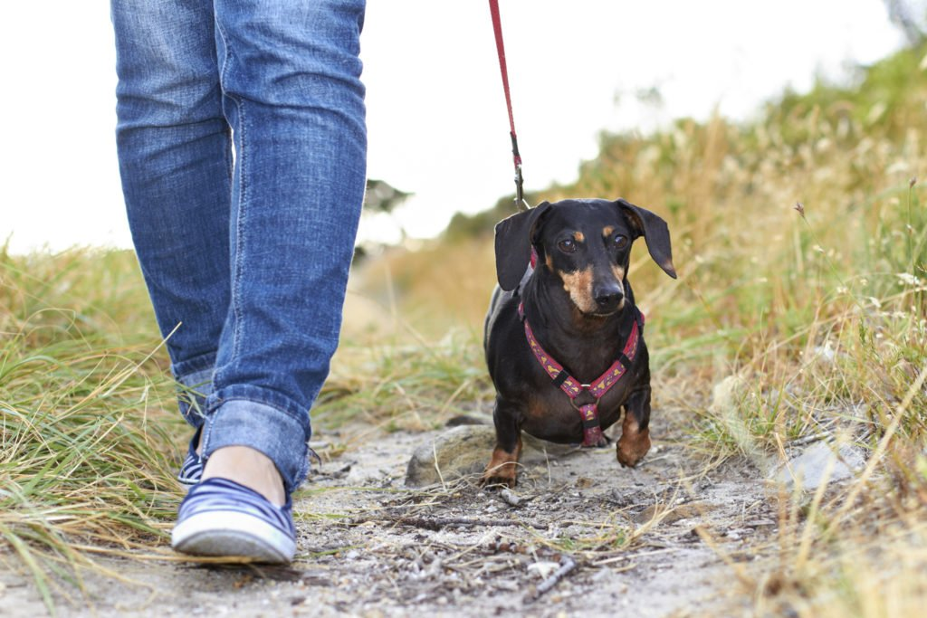 Woman walking with a dachshund on a lead