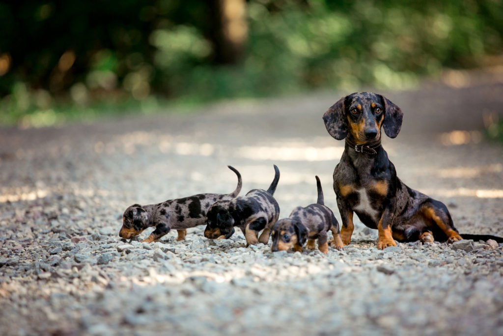 Dachshund mother outside with her puppies