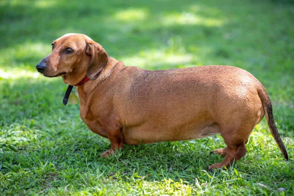 Is my dachshund overweight? Overweight dachshund standing on the grass