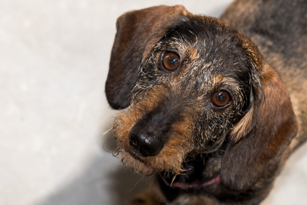 Old dachshund with a painful back stood up and looking sad
