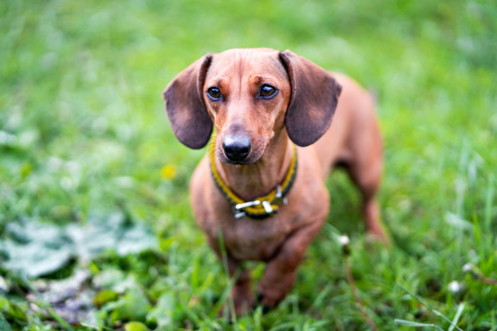 Dachshund outside in the garden learning potty training
