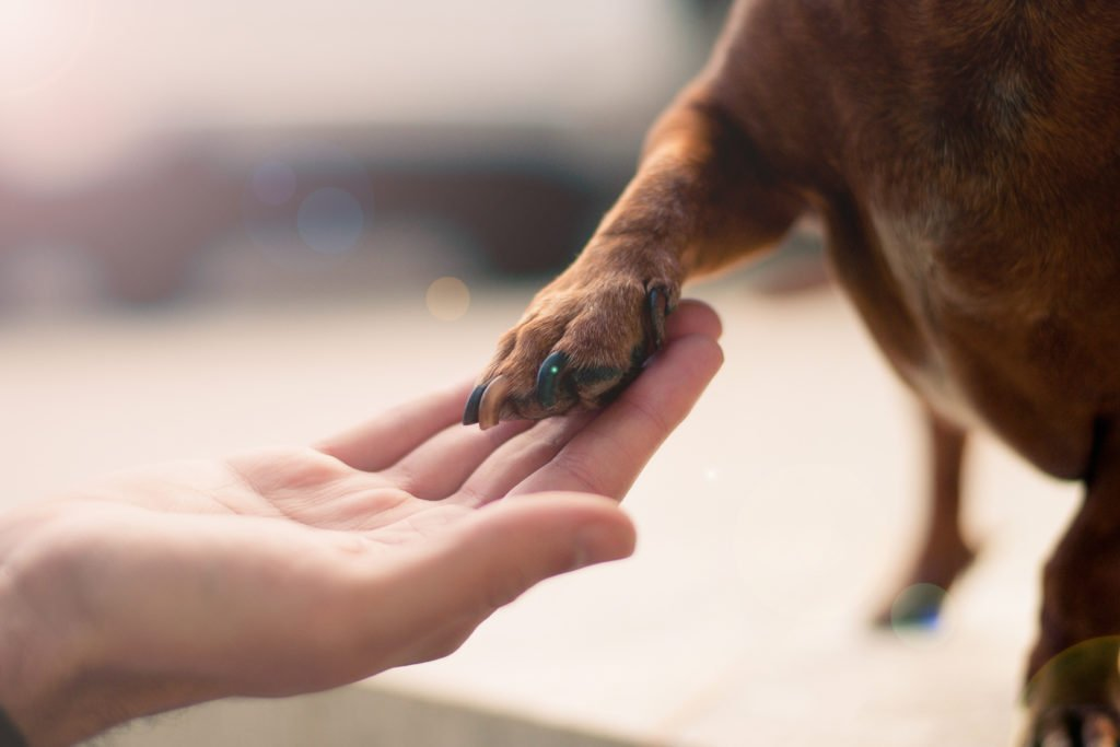 Dachshund placing his paw in a woman's hand