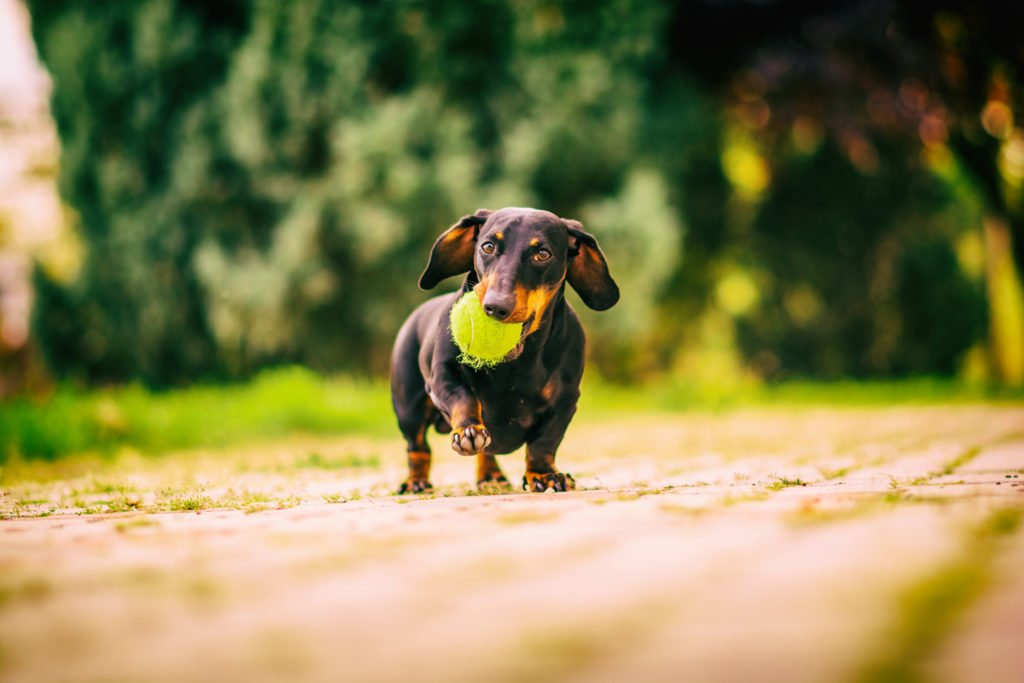 Miniature dachshund going for a walk with a ball in his mouth