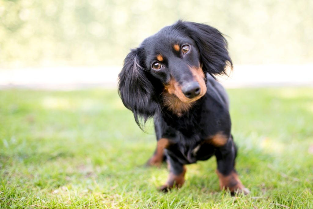 Dachshund standing in the garden with his head tilted to the side playing and exercising