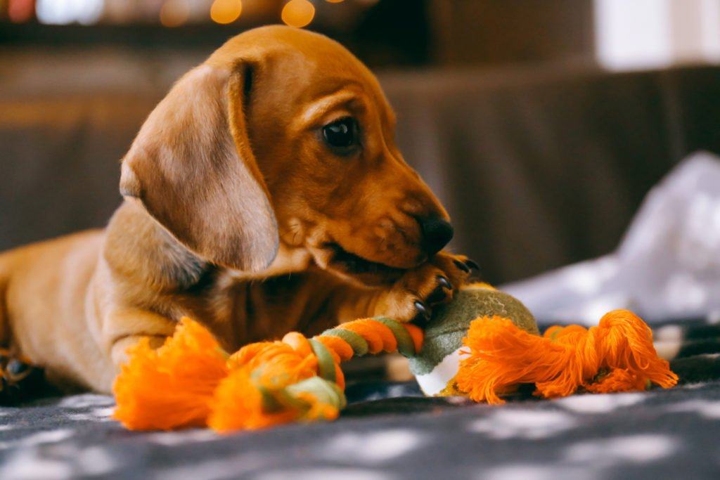 Are Dachshunds Easy to Train? Dachshund laying on the floor and chewing rope