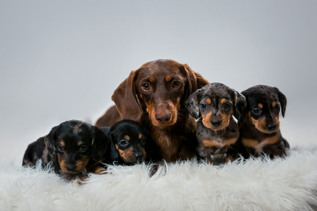 Is my dachshund overweight?  Dachshund mother with her four puppies