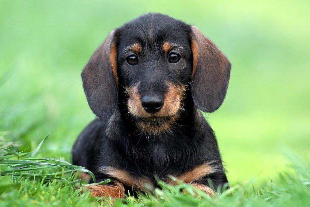 Dachshund puppy sat in the grass in the garden doing potty training
