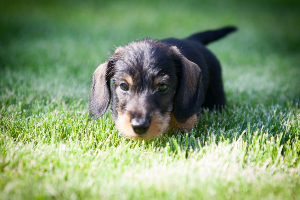 Dachshund puppy out in the garden on the grass