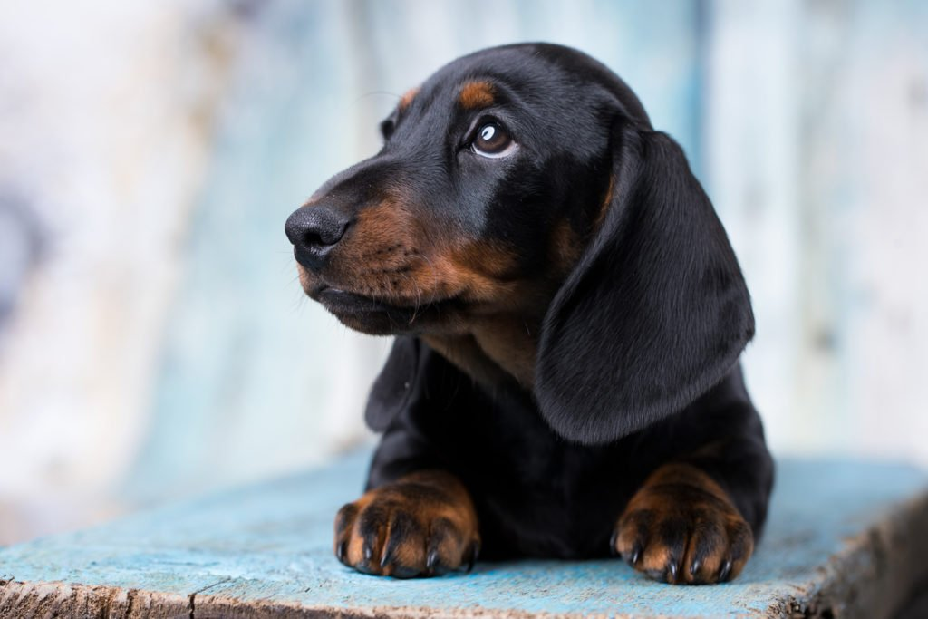 Are Dachshunds Easy to Train? Dachshund puppy laying down and looking to the side