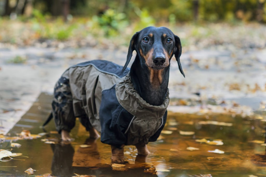 Does my dachshund need a coat?Wet dachshund standing in a puddle in the rain wearing a raincoat