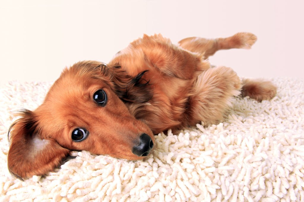 Dachshund rolling onto his back with feet in the air